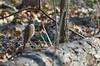 Hermit Thrush (ramseybuckeye) Tags: hermit thrush kendrick woods allen county ohio