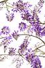 PhoTones Works #10086 (TAKUMA KIMURA) Tags: photones sony a7rm2 takuma kimura 木村 琢磨 風景 景色 自然 藤 landscape nature snap flower wisteria