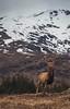 Majestic Deer (jasty78) Tags: deer reddeer majestic snow mountain scotland nikond7200 sigma350mmf14