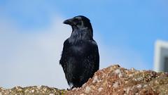 Carrion crow, Torquay beach (Dave_A_2007) Tags: corvidae corvuscorone bird carrioncrow crow nature wildlife torquay torbay england
