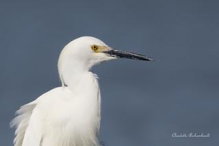 Aigrette neigeuse, Snowy Egret