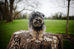 15/52 - Out & About. (Kirstyxo) Tags: teddy cute 1552 52weeksfordogs 52weeksfordogs2018 52weeksfordogs18