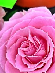 Layers of Pink (Scorpiol13) Tags: love ephemera softcurves freshness growth flowerhead nature softness texture flow folds layers beauty feminine closeup macro blossom bloom delicate floral flower pinkrose pink rose