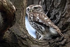 LittleOwl-0010.jpg (vorneo) Tags: wildbird kingdomanimalia birdofprey owl binomialnameathenenoctua littleowl bird speciesanoctua phylumchordata familystrigidae orderstrigiformes classaves genusathene