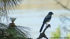 California Scrub-Jay (Aphelocoma californica) (youngwarrior) Tags: memaloosestatepark oregon aphelocomacalifornica californiascrubjay bird jay corvid