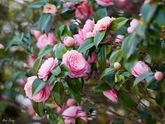 P1042744 (dmc_fz7_az) Tags: japanese camellia