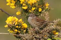 Dunnock in Gorse near Wembury beach, Devon, UK. Image 1. (ronalddavey80) Tags: bird nature canon dunnock tamron eos70d gorse yellow flower