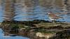 Killdeer - Charadrius vociferus | 2018 - 2 (RGL_Photography) Tags: birding birds birdwatching charadriusvociferous forthancock gardenstate gatewaynationalrecreationarea jerseyshore killdeer migratorybirdtreatyactof1918 monmouthcounty newjersey onomatopoeically ornithology plover precocial protectedspecies sandyhook us unitedstates wildlife wildlifephotography nikond610 nikonafs200500mmf56eedvr