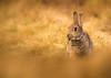 Rabbit (Peter Quinn1) Tags: rabbit derwentedge derbyshire spring