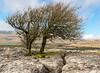 Limestone Country (Kingmoor Klickr) Tags: guaber limekilnpasture rocks gbrailfreight 66742 ribblehead northyorkshire railfreight tree limestone pavement