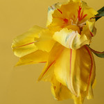 Yellow tulip with red stripe and reflected thumbnail