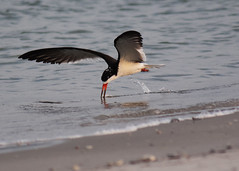 . (Alan Cradick) Tags: blackskimmeralancradick oystercatcher pelican shorebird beach northcarolina wrightsvillebeach inlet backbay icw nesting birdwatching flyway