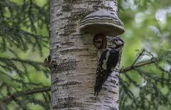 Great spotted woodpecker, male (Anders Toomus) Tags: greatspottedwoodpecker störrehackspett suurkirjurähn dendrocoposmajor nest pesa bo