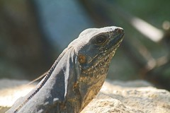 347. Ctenosaurus Similis f (1000 Wildlife Photo Challenge) Tags: iguana reptile mexico yucatan wildlife nature