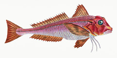 Red gurnard (Tirgla Lineatus) illustration from The Natural History of British Fishes (1802) by Edward Donovan (1768-1837). Digitally enhanced from our own original edition. (Free Public Domain Illustrations by rawpixel) Tags: greatbritain otherkeywords animal antique aquatic artwork britain british britishfish catch cc0 colored colorful donovan drawing edonovan eastatlanticredgurnard edward edwarddonovan fish fishery fishing freshness gourmet gurnard handdrawn healthy illustrated illustration ingredient isolated isolatedonwhite lineatus marine marinelife name nature ocean pictorialworks pink publicdomain red redgurnard sea seawater seafood streaked tags thenaturalhistoryofbritishfishes tirgla tirglalineatus triglidae uk vintage whitebackground