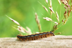Hairy larva (ekaterina alexander) Tags: hairy lackey moth caterpillar malacosoma neustria blue orange stripes summer insect wild nature ekaterina alexander photography pictures england sussex larva