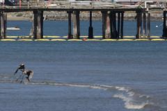 IMG_2474 (armadil) Tags: mavericks beach beaches bird birds flying californiabeaches heron greatblueheron blueheron