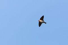 Anglų lietuvių žodynas. Žodis cliff swallow reiškia uolos nuryti lietuviškai.