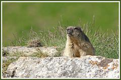 Marmotte 180619-29-P (paul.vetter) Tags: animal rongeur marmotte mammifère sciuridé marmotamarmota groundhog murmeltier marmota