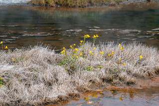 Wildflowers survive in a yellowstone Geothermal area