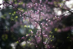 *** (pszcz9) Tags: przyroda nature natura wiosna spring kwiat flower drzewo tree bokeh beautifulearth sony a77