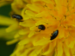 (von8itchfisk) Tags: macro insect beetle bug flower dandelion weed nature outside outdoors vonbitchfisk