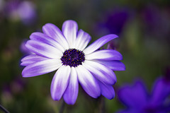 Pericallis (titusgaertner) Tags: flower blooming blume blüte blühen lila weis aschenblume pericallis senetti floral laga landesgartenschau würzburg 2018