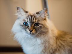 Parfait (Thomas Listl) Tags: thomaslistl color 100mm parfait cat siberiancat beauty cute blue eyes blueeyes wild animal portrait