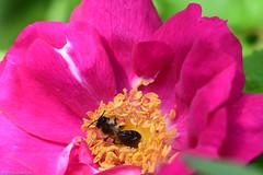 Abeille sur fleur de rose (Mamyarason) Tags: rose roseraielacelleenmorvan macro abeille france mamyramiarason nikond750 bourgognefranchecomté
