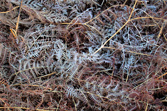 Old Ferns (Benjamin Driver) Tags: fern old brown dead macro abstract morning texture frost ice cold