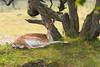 Just relaxing a bit (Leo Kramp) Tags: 2018 whitetaleddeer damhert accessoires loweproflipside300awii natuurfotografie dieren zoogdieren flickr waterleidingduinen bentveld noordholland nederland nl