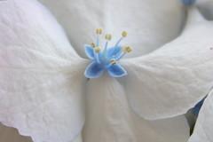 Symmetry (ryorii) Tags: macromademoiselle linesymmetry hydrangea hydrangeamacrophilla flower flowers fiore ortensia hortensia white yellow lightblue simmetria macromondays macrophotography macro