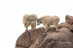 Mountain Goats hanging out