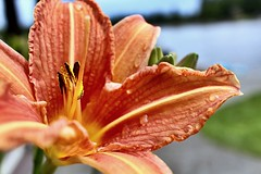 Lilies (briannalhendricks) Tags: lily pnw flowerphotography flower floral