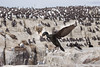 Shag over Staple Island (ToriAndrewsPhotography) Tags: shag seabird farne islands staple northumberland photography andrews tori flight