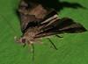 Wooly Rhino horn moth Hypena sp aff gonospilalis Hypeninae Erebidae Airlie Beach rainforest P1360048 (Steve & Alison1) Tags: wooly rhino horn bat man moth hypena sp aff gonospilalis hypeninae erebidae airlie beach rainforest