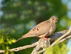 Mourning dove (justkim1106) Tags: mourningdove dove texasbird backyardbird bokeh naturebokeh texaswildlife backyardwildlife wildbird