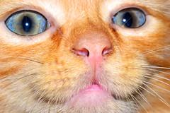 Sonny Ginger Cat (donjuanmon) Tags: donjuanmon nikon cat ginger blue orange pink eyes nose whiskers slidersunday sliders hss kitten feline pet
