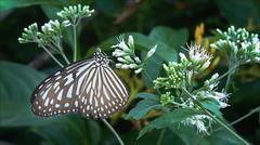 Butterfly (kate willmer) Tags: butterfly wings flower garden singapore