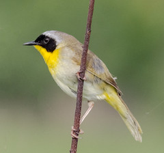 Common Yellowthroat (tresed47) Tags: 2018 201806jun 20180607bombayhookbirds birds bombayhook canon7d commonyellowthroat content delaware folder june peterscamera petersphotos places season spring takenby us warbler ngc