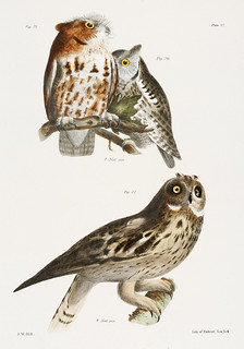 25. & 26. The Little Screech Owl (Bubo asio) 27. The Short-eared Owl (Otus palustris) illustration from Zoology of New york (1842 - 1844) by James Ellsworth De Kay (1792-1851).