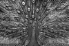 Peacock (2) (Rob Blanken) Tags: peacock bw