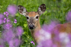 White Tailed Deer in the Dames Rocket Wildflowers (thanks for the floral id Rosemary!) (NicoleW0000) Tags: whitetaileddeer deer doe wild animal wildlife nature outdoor photography ontario