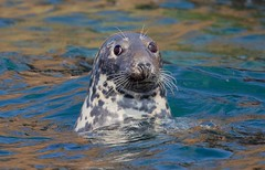 Grey Seal (haroldmoses) Tags: 2y3a18901 seals islandseasafaris stmarys islesofscilly