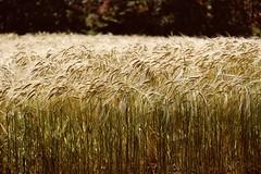 Du bon blé (MarcBphotos) Tags: ble wheat epic sun farm nature