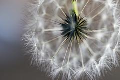 Little Cloud (mary.ovch) Tags: seed light macro white dandelion d610 nikon