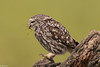 Chevêche d'Athéna (Athene noctua) - Little Owl (jf Pascal) Tags: espagne catalogne provincedelérida chevêchedathéna athenenoctua littleowl strigiformes strigidés