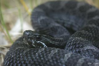 Eastern Massasaauga Rattlesnake