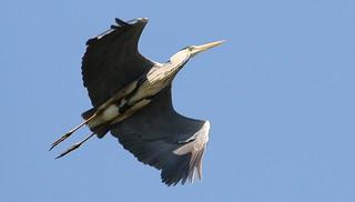 Grey Heron 150518 (4)