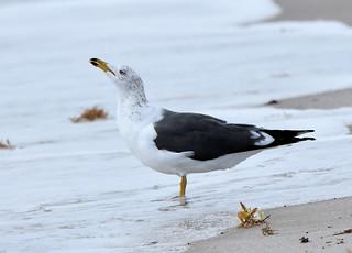 Lesser Black-backed Gull 4-6-18